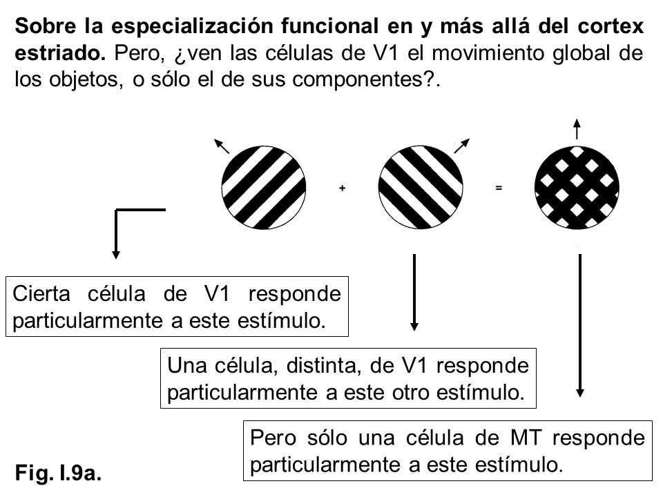 Sobre la especialización funcional en y más allá del cortex estriado. Pero, ¿ven las células de V1 el movimiento global de los objetos, o sólo el de s
