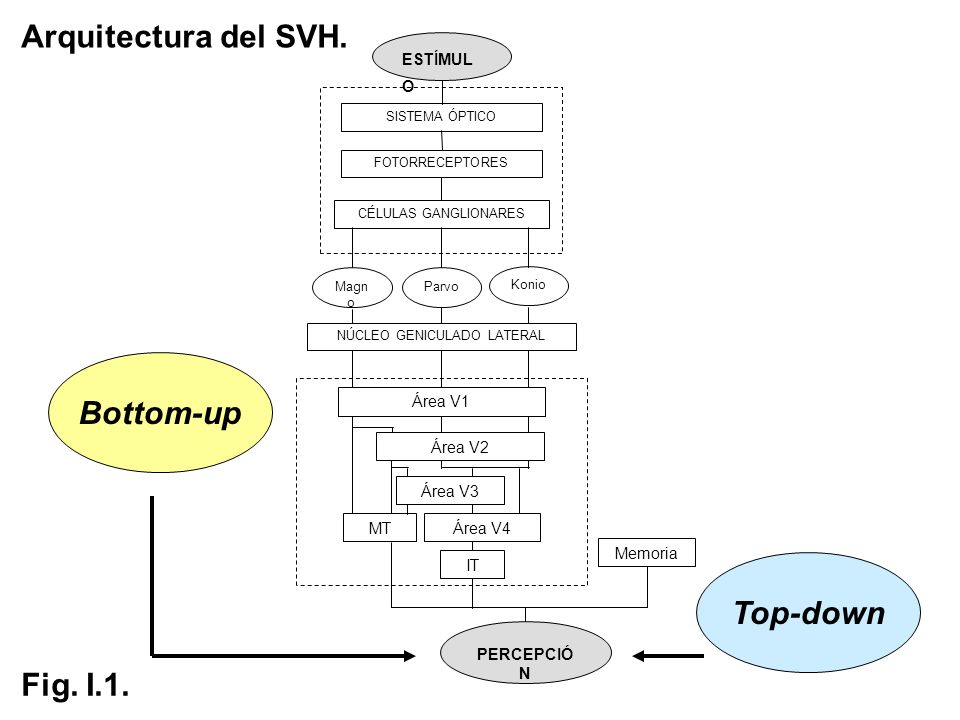 Sobre la especialización funcional de los caminos visuales.