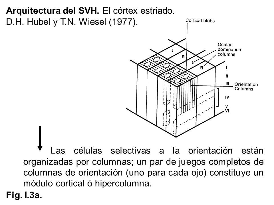 Arquitectura del SVH. El córtex estriado. D.H. Hubel y T.N. Wiesel (1977). Las células selectivas a la orientación están organizadas por columnas; un