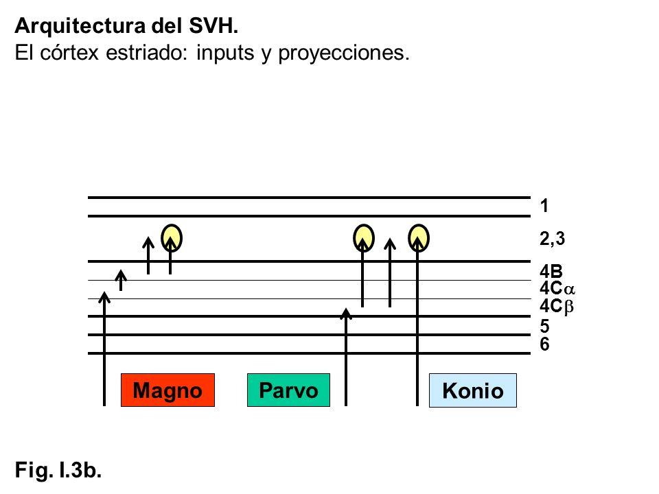 Arquitectura del SVH. El córtex estriado: inputs y proyecciones. 1 2,3 4C 5 6 4B Parvo Konio Magno Fig. I.3b.