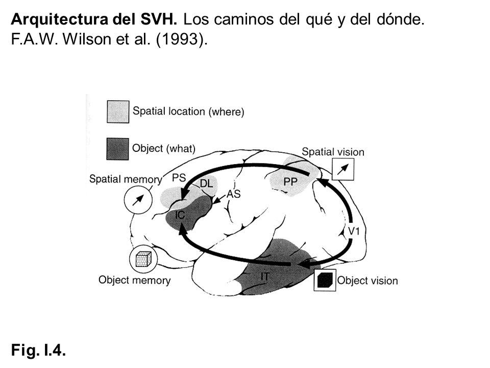 Arquitectura del SVH. Los caminos del qué y del dónde. F.A.W. Wilson et al. (1993). Fig. I.4.