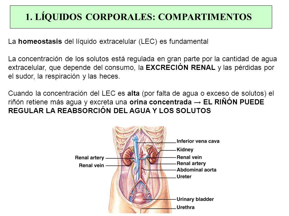 La homeostasis del líquido extracelular (LEC) es fundamental La concentración de los solutos está regulada en gran parte por la cantidad de agua extra