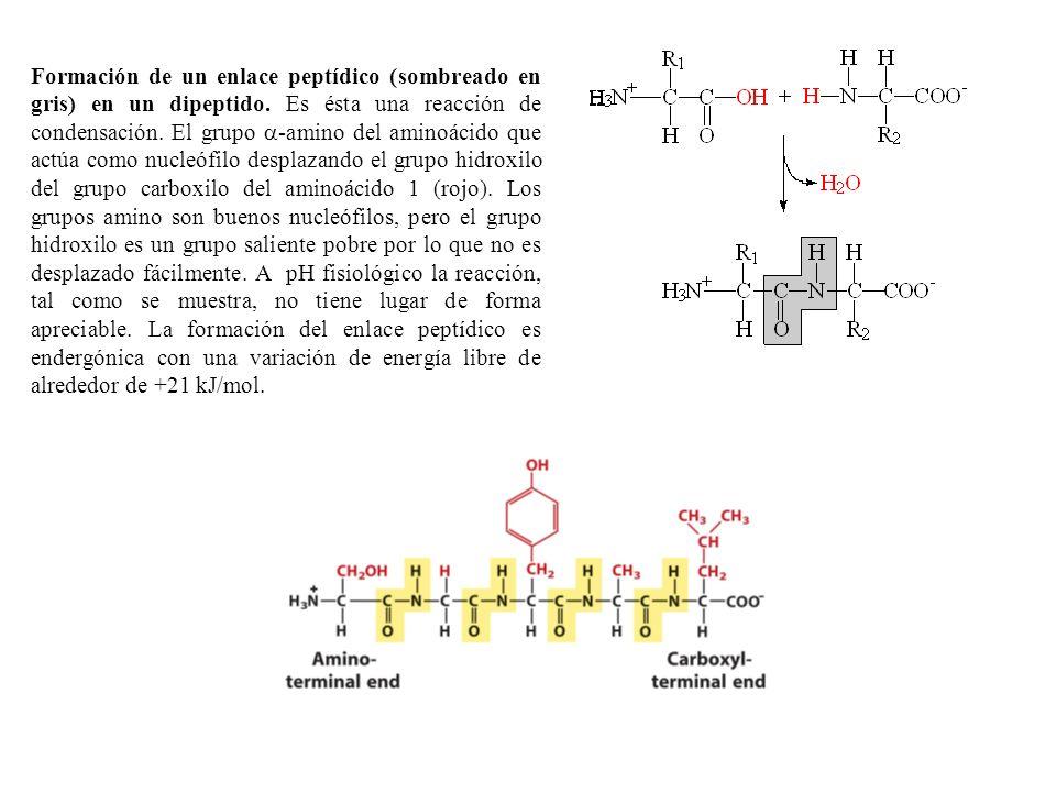 Formación de un enlace peptídico (sombreado en gris) en un dipeptido.