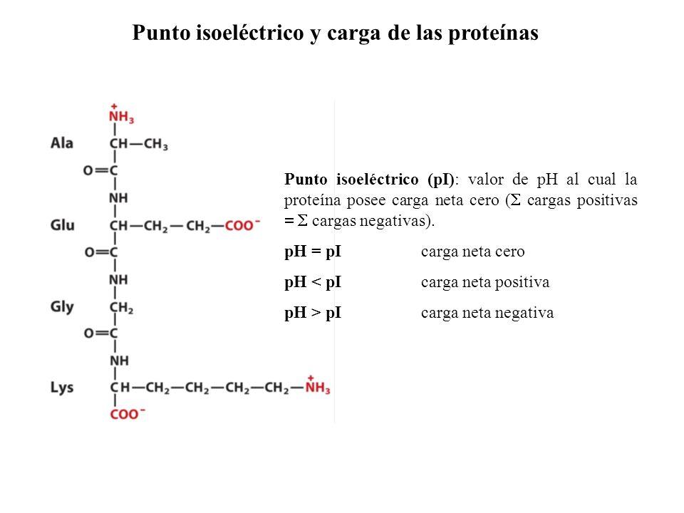 Punto isoeléctrico (pI): valor de pH al cual la proteína posee carga neta cero ( cargas positivas cargas negativas).