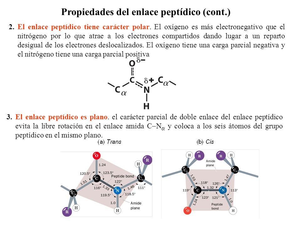 2.El enlace peptídico tiene carácter polar.