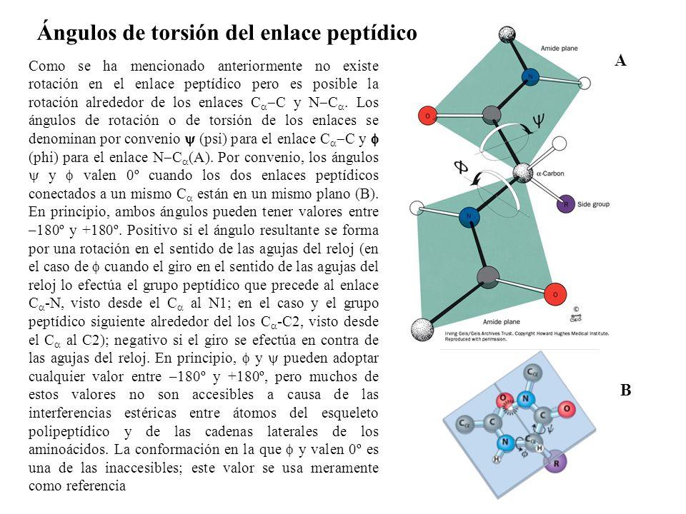 Como se ha mencionado anteriormente no existe rotación en el enlace peptídico pero es posible la rotación alrededor de los enlaces C C y N C.