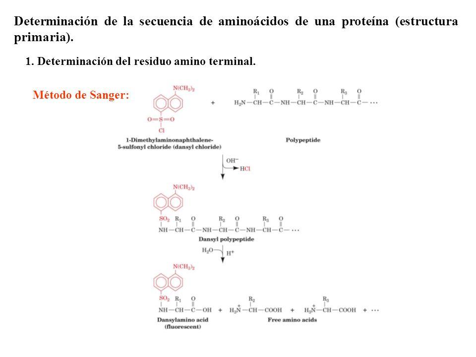 Determinación de la secuencia de aminoácidos de una proteína (estructura primaria).