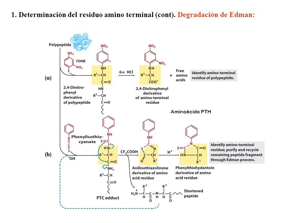 Aminoácido PTH 1. Determinación del residuo amino terminal (cont). Degradación de Edman: