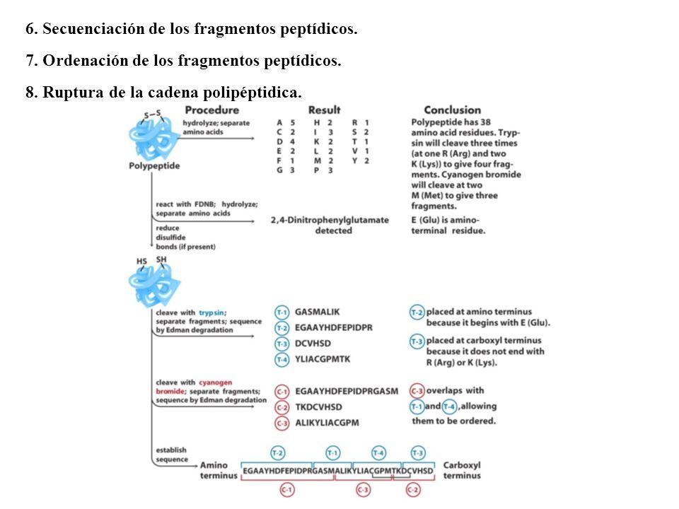 6.Secuenciación de los fragmentos peptídicos. 7. Ordenación de los fragmentos peptídicos.
