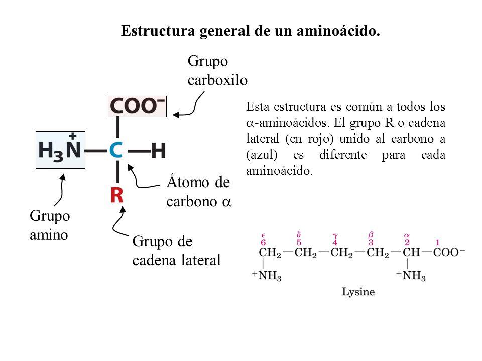 Esta estructura es común a todos los -aminoácidos.