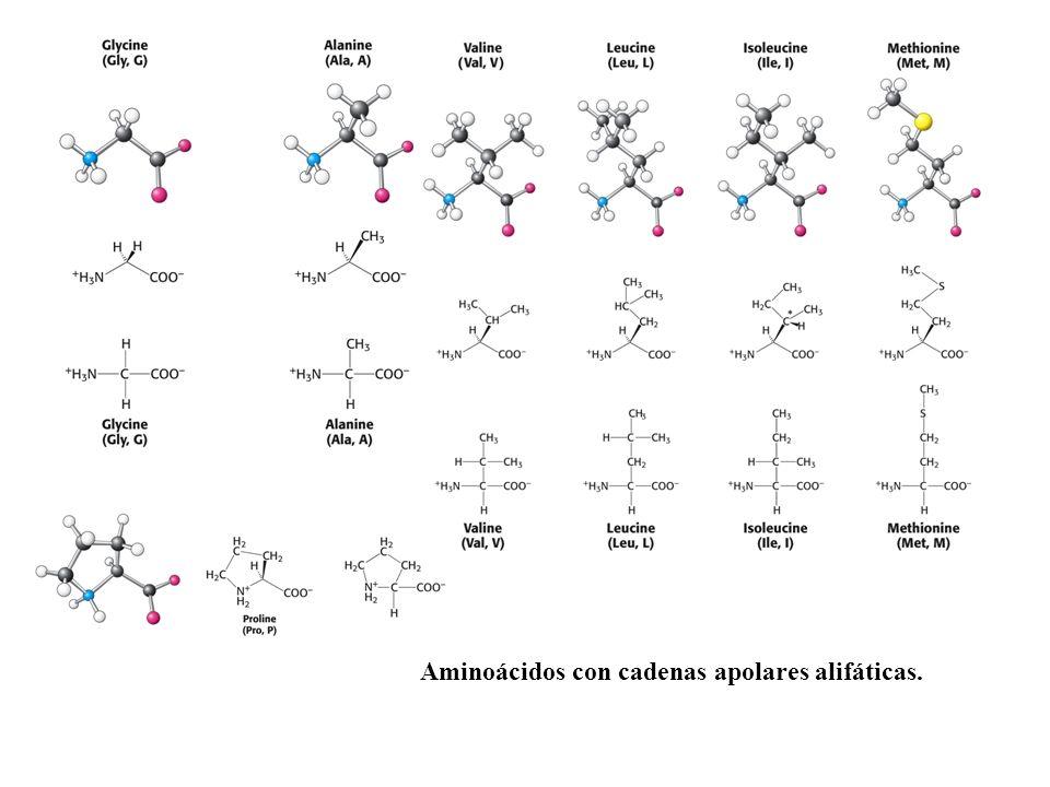 Aminoácidos con cadenas apolares alifáticas.