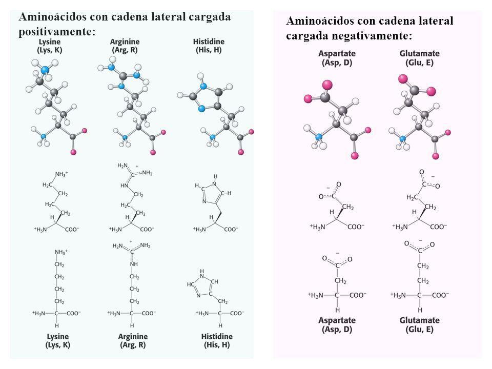 Aminoácidos con cadena lateral cargada positivamente: Aminoácidos con cadena lateral cargada negativamente: