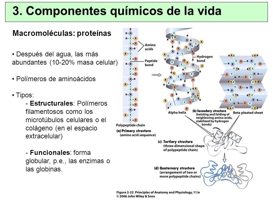 Macromoléculas: proteínas 3. Componentes químicos de la vida Después del agua, las más abundantes (10-20% masa celular) Polímeros de aminoácidos Tipos