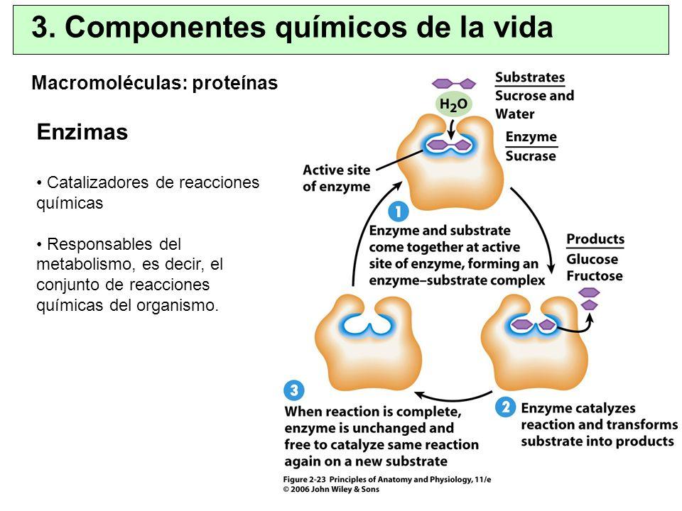 Macromoléculas: proteínas 3. Componentes químicos de la vida Enzimas Catalizadores de reacciones químicas Responsables del metabolismo, es decir, el c