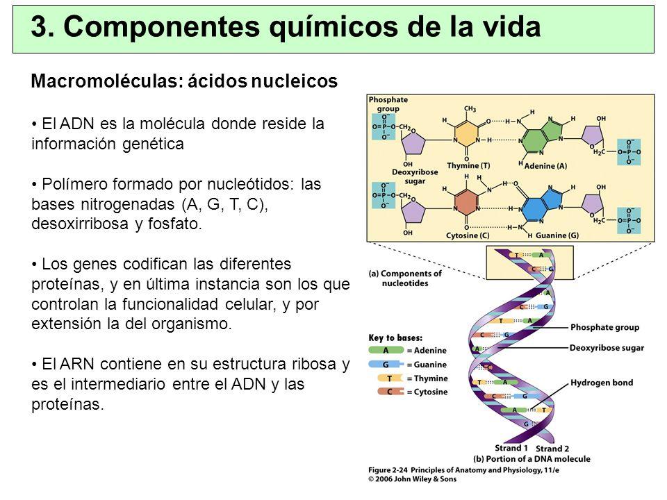 3. Componentes químicos de la vida Macromoléculas: ácidos nucleicos El ADN es la molécula donde reside la información genética Polímero formado por nu