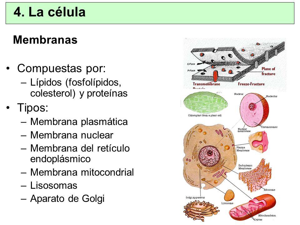 Membranas Compuestas por: –Lípidos (fosfolípidos, colesterol) y proteínas Tipos: –Membrana plasmática –Membrana nuclear –Membrana del retículo endoplá