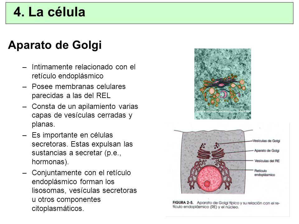 Aparato de Golgi –Intimamente relacionado con el retículo endoplásmico –Posee membranas celulares parecidas a las del REL –Consta de un apilamiento va