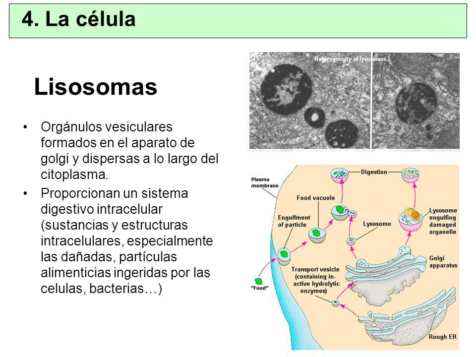 Lisosomas Orgánulos vesiculares formados en el aparato de golgi y dispersas a lo largo del citoplasma. Proporcionan un sistema digestivo intracelular