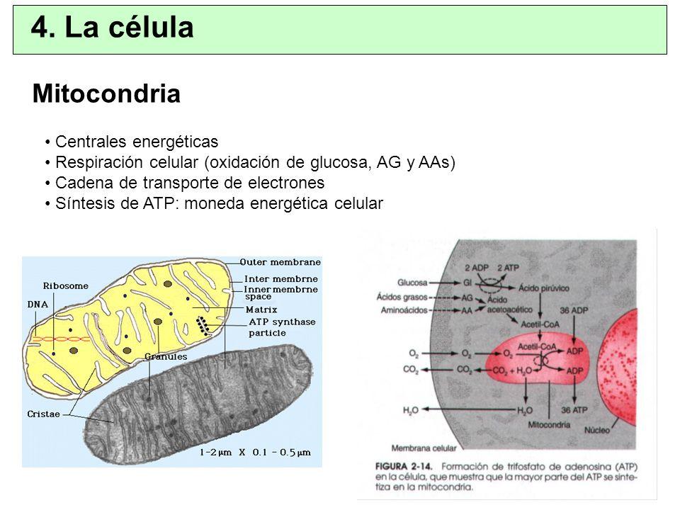Mitocondria Centrales energéticas Respiración celular (oxidación de glucosa, AG y AAs) Cadena de transporte de electrones Síntesis de ATP: moneda ener