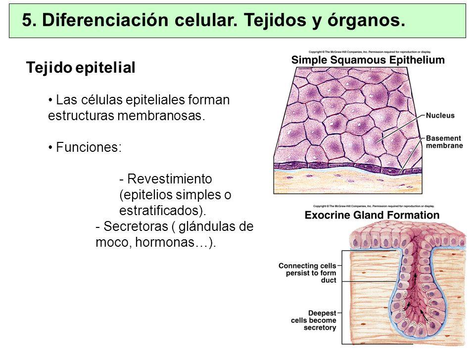 5. Diferenciación celular. Tejidos y órganos. Tejido epitelial Las células epiteliales forman estructuras membranosas. Funciones: - Revestimiento (epi