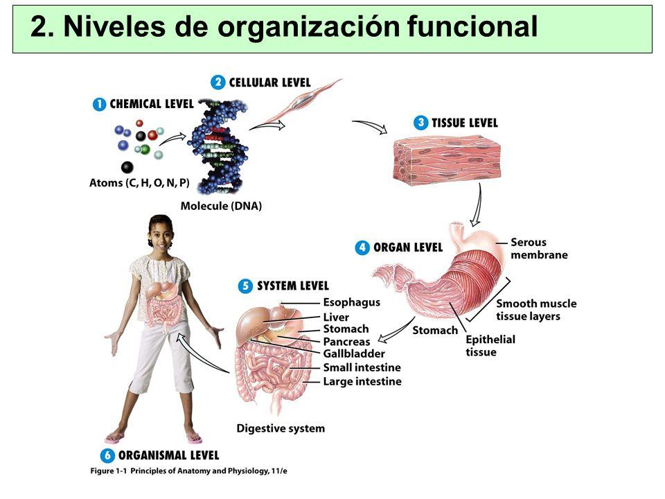 –Unidad viva básica del organismo –Nº total ~ 100 billones –Características similares: metabolismo, consumo de O 2, división celular… –Organización de la célula Núcleo: ADN empaquetado (cromatina) rodeado de membrana nuclear Citoplasma (rodeado de membrana celular) 4.