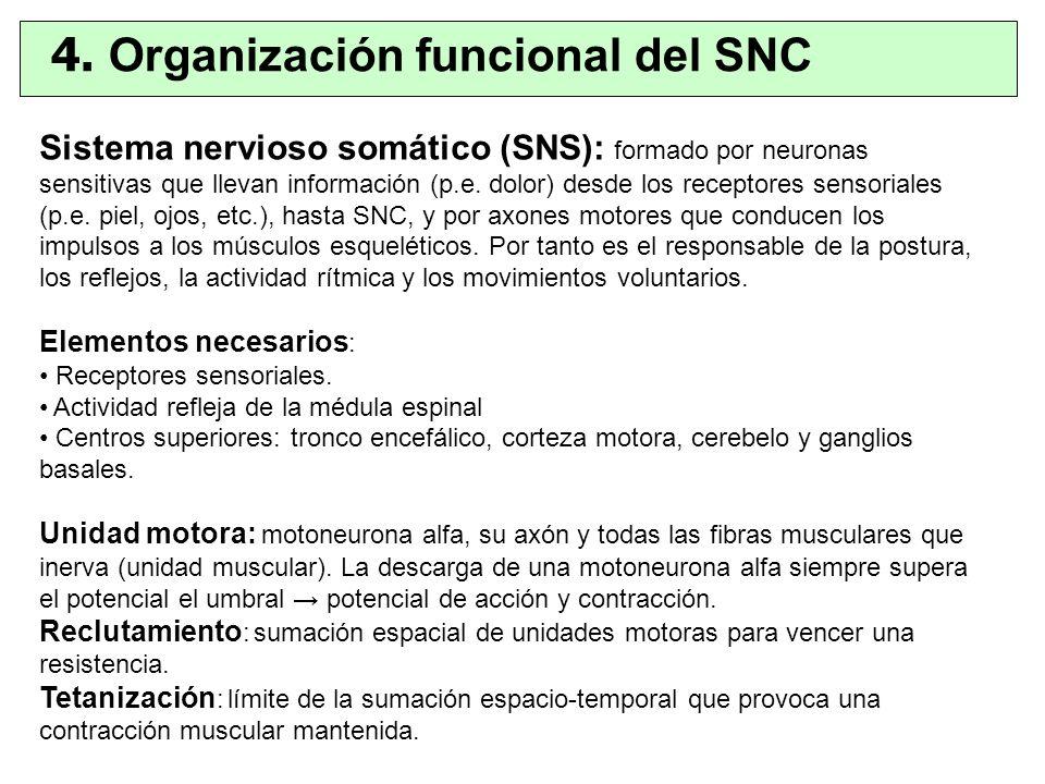 Sistema nervioso somático (SNS): formado por neuronas sensitivas que llevan información (p.e. dolor) desde los receptores sensoriales (p.e. piel, ojos