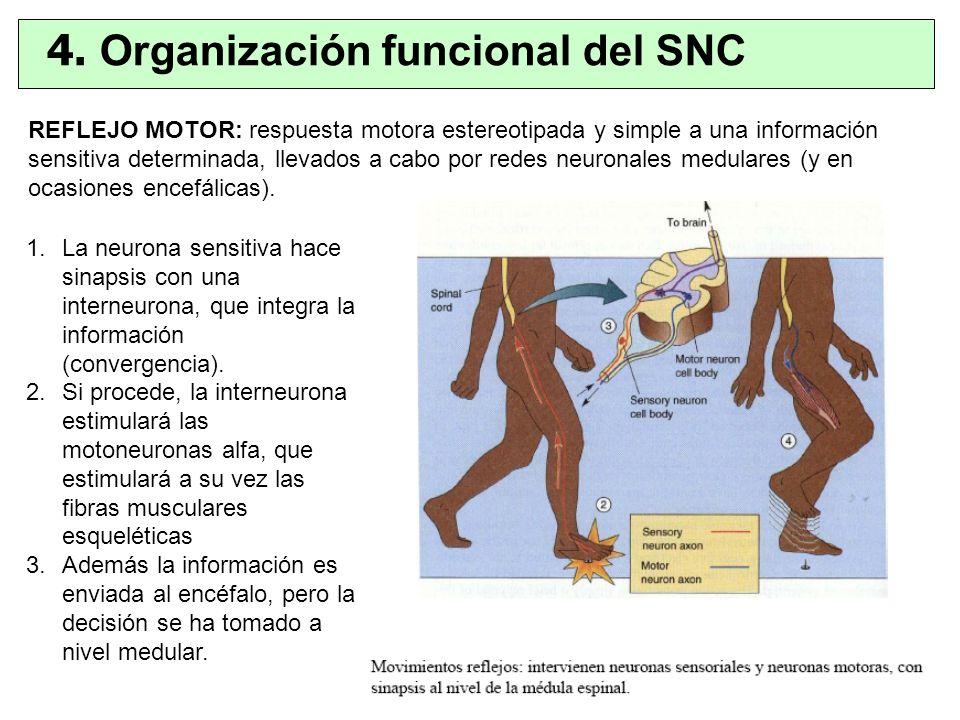 1.La neurona sensitiva hace sinapsis con una interneurona, que integra la información (convergencia). 2.Si procede, la interneurona estimulará las mot