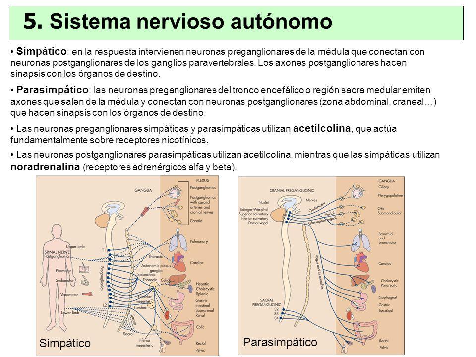 Simpático : en la respuesta intervienen neuronas preganglionares de la médula que conectan con neuronas postganglionares de los ganglios paravertebral