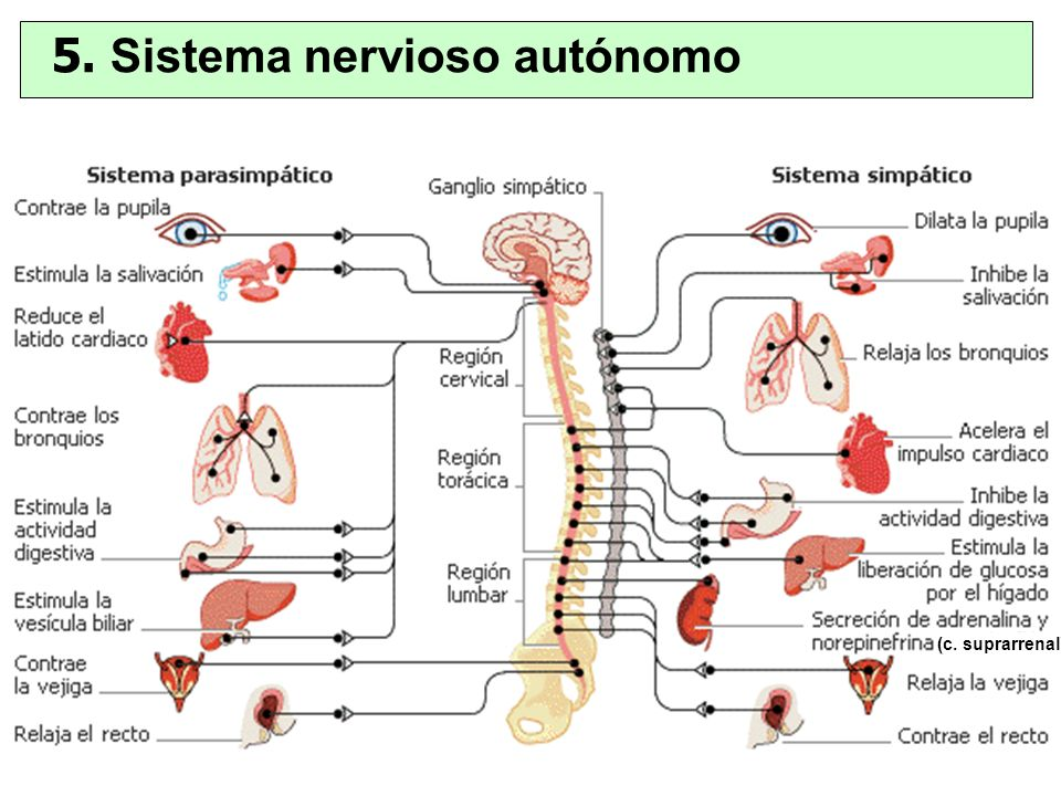 (c. suprarrenal) 5. Sistema nervioso autónomo