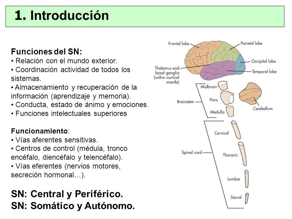 Funciones del SN: Relación con el mundo exterior. Coordinación actividad de todos los sistemas. Almacenamiento y recuperación de la información (apren