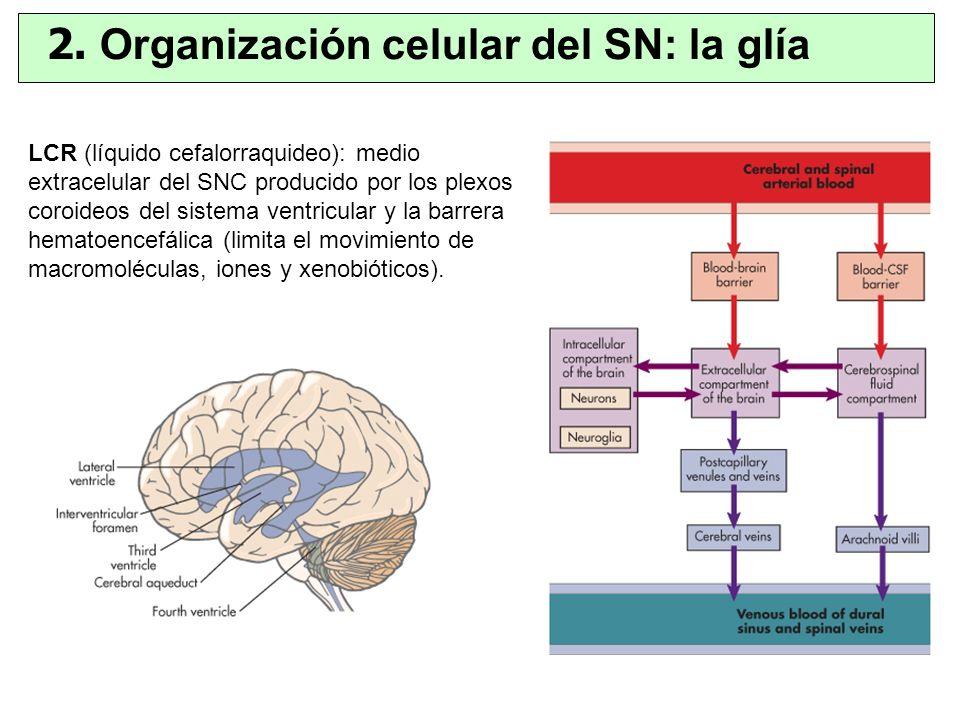 LCR (líquido cefalorraquideo): medio extracelular del SNC producido por los plexos coroideos del sistema ventricular y la barrera hematoencefálica (li