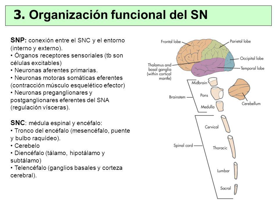 SNP : conexión entre el SNC y el entorno (interno y externo). Órganos receptores sensoriales (tb son células excitables) Neuronas aferentes primarias.