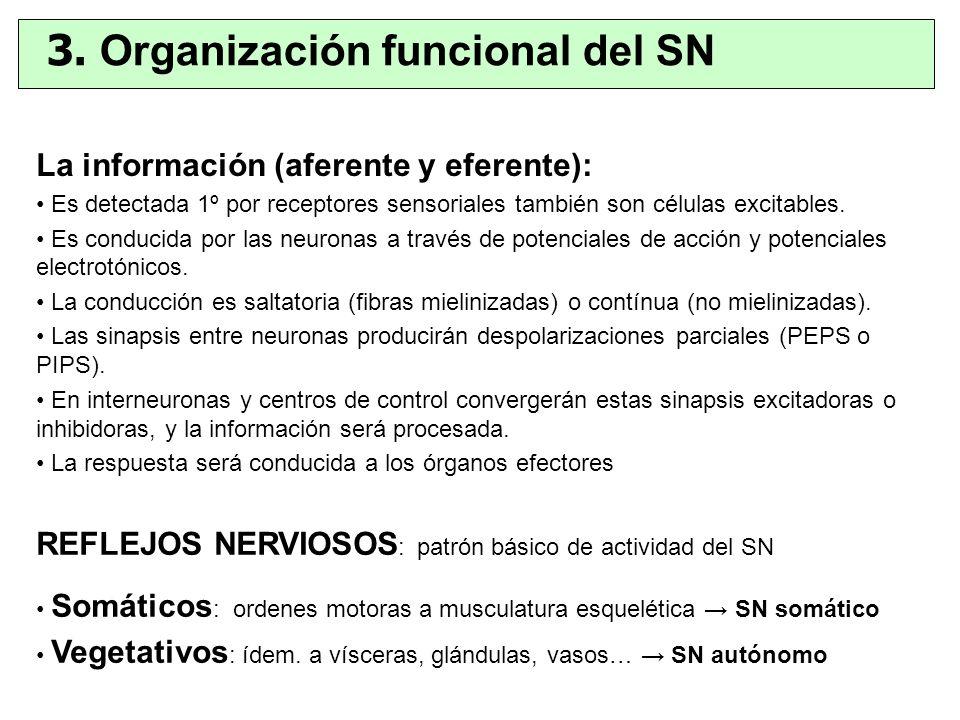 La información (aferente y eferente): Es detectada 1º por receptores sensoriales también son células excitables. Es conducida por las neuronas a travé