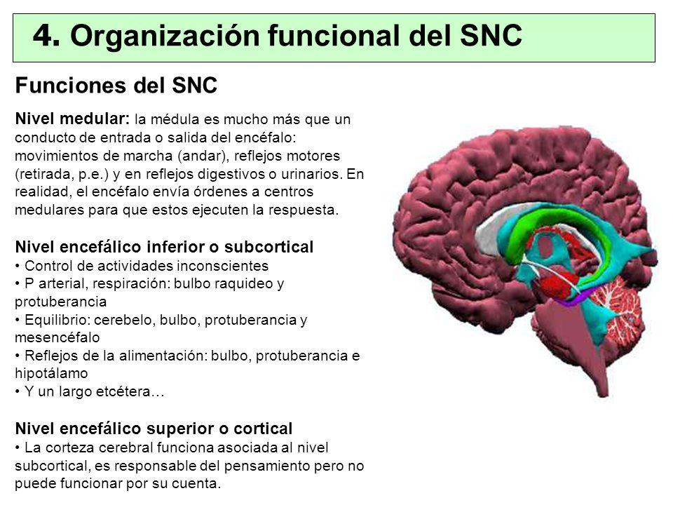Funciones del SNC Nivel medular: la médula es mucho más que un conducto de entrada o salida del encéfalo: movimientos de marcha (andar), reflejos moto