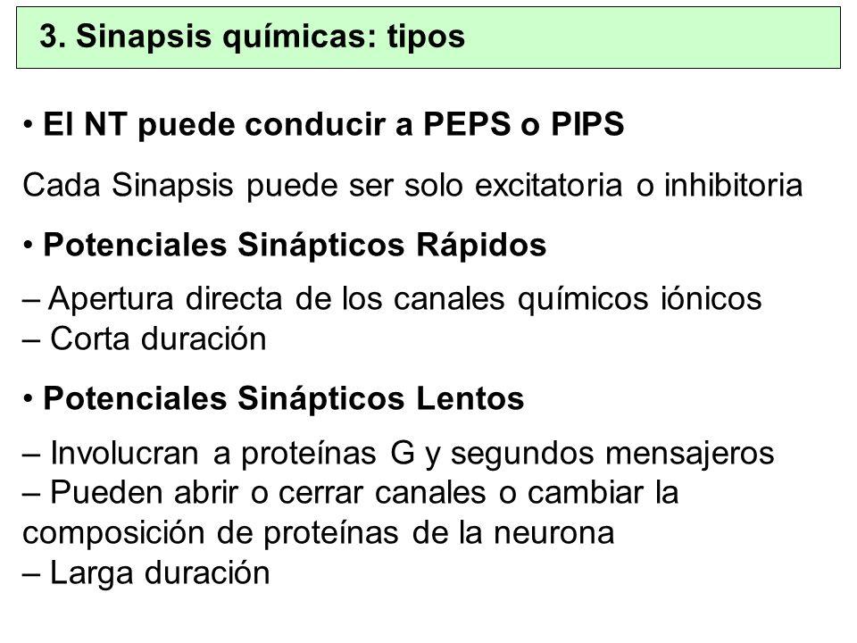 El NT puede conducir a PEPS o PIPS Cada Sinapsis puede ser solo excitatoria o inhibitoria Potenciales Sinápticos Rápidos – Apertura directa de los can