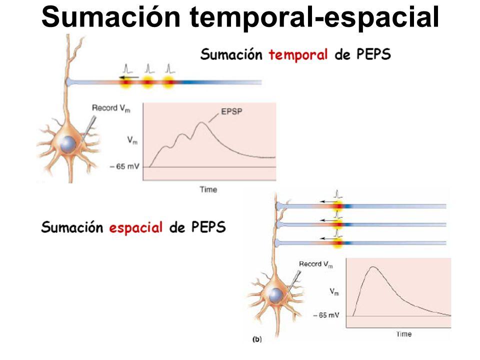 Consecuencia de los fenómenos de sumación 1.Tres neuronas excitatorias descargan.