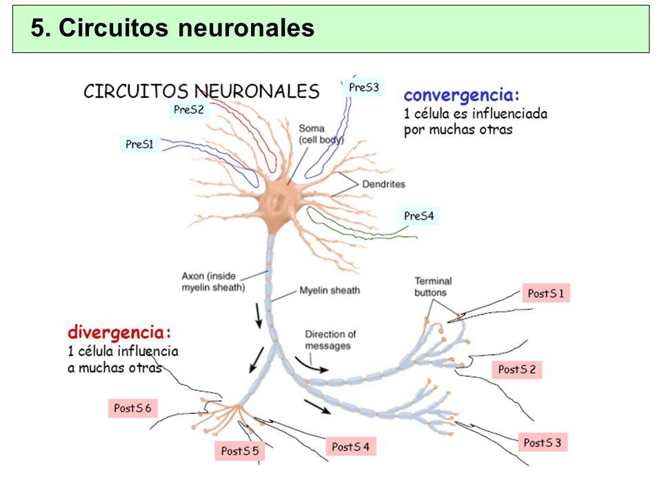 Suelen ser neuropéptidos (proteínas).Vesículas de secreción mas grandes y densas.