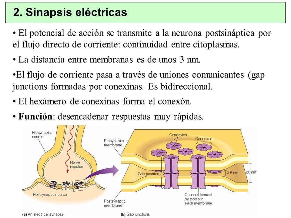 2. Sinapsis eléctricas El potencial de acción se transmite a la neurona postsináptica por el flujo directo de corriente: continuidad entre citoplasmas