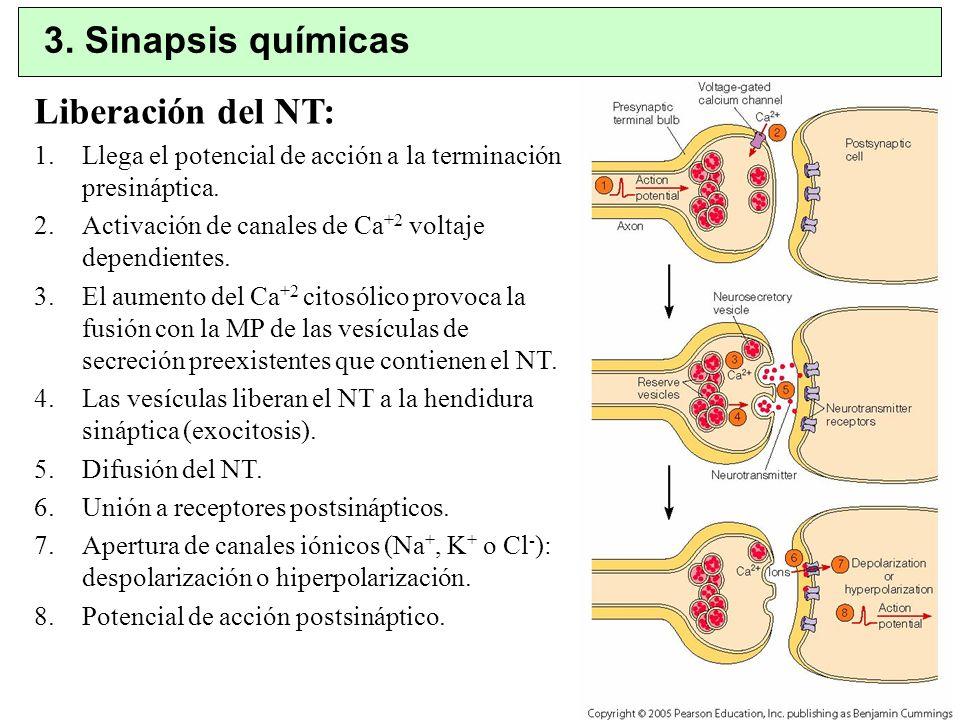 Liberación del NT: 1.Llega el potencial de acción a la terminación presináptica. 2.Activación de canales de Ca +2 voltaje dependientes. 3.El aumento d