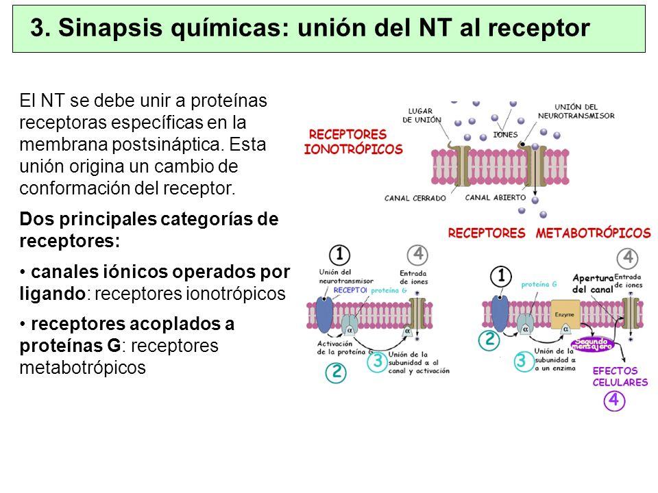 El NT se debe unir a proteínas receptoras específicas en la membrana postsináptica. Esta unión origina un cambio de conformación del receptor. Dos pri