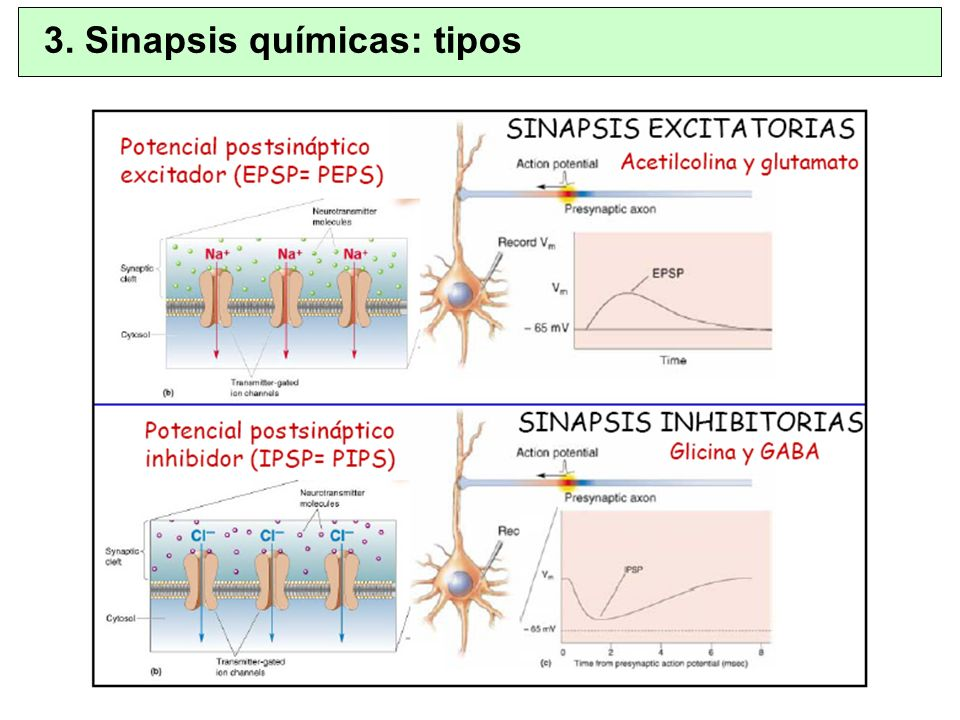 El NT puede conducir a PEPS o PIPS Cada Sinapsis puede ser solo excitatoria o inhibitoria Potenciales Sinápticos Rápidos – Apertura directa de los canales químicos iónicos – Corta duración Potenciales Sinápticos Lentos – Involucran a proteínas G y segundos mensajeros – Pueden abrir o cerrar canales o cambiar la composición de proteínas de la neurona – Larga duración 3.
