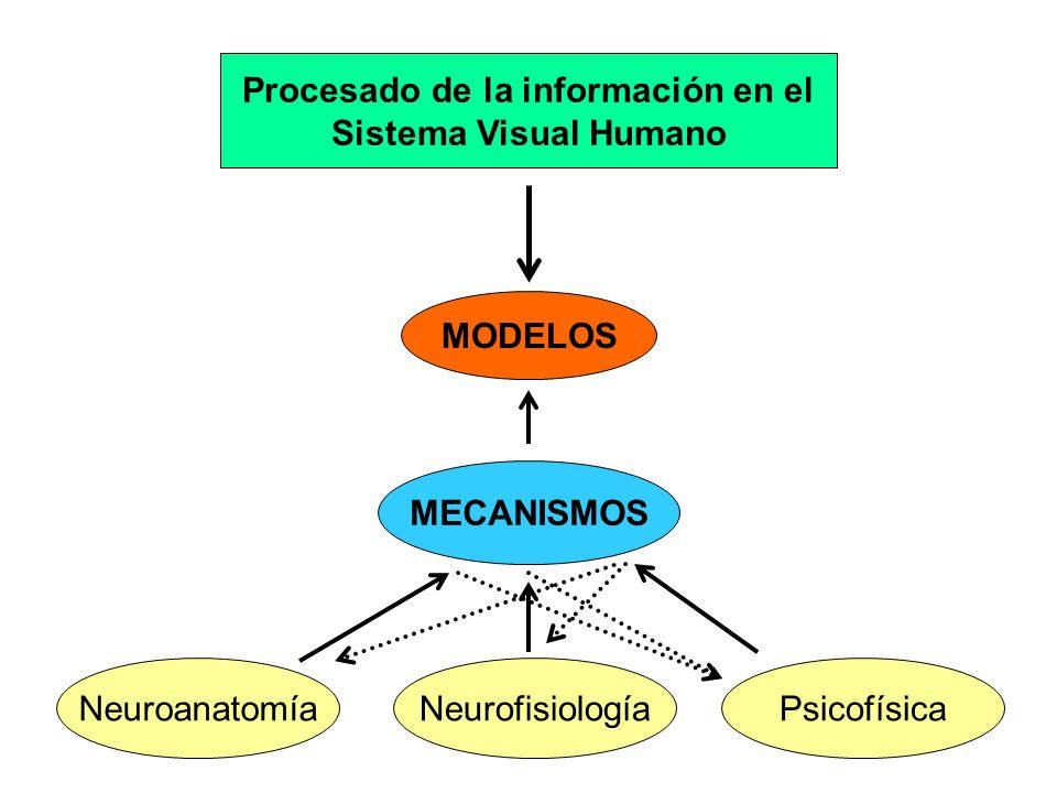 MECANISMOS NeuroanatomíaPsicofísicaNeurofisiología Procesado de la información en el Sistema Visual Humano MODELOS