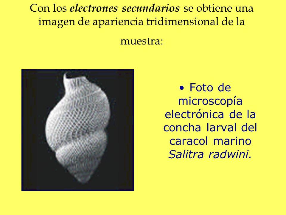 Con los electrones secundarios se obtiene una imagen de apariencia tridimensional de la muestra: Foto de microscopía electrónica de la concha larval d