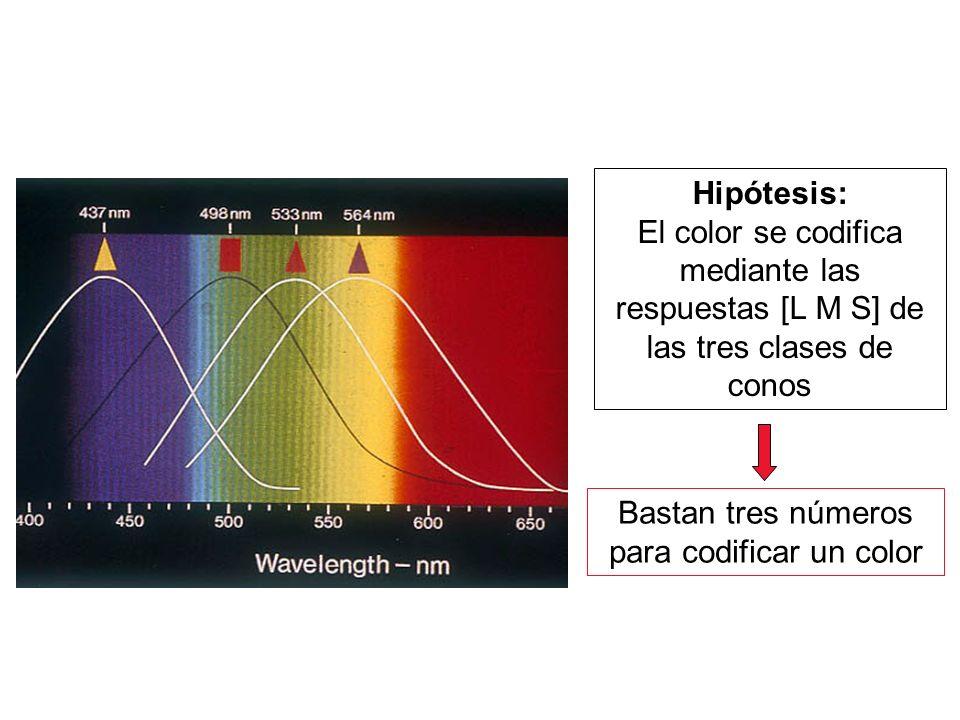 Hipótesis: El color se codifica mediante las respuestas [L M S] de las tres clases de conos Bastan tres números para codificar un color
