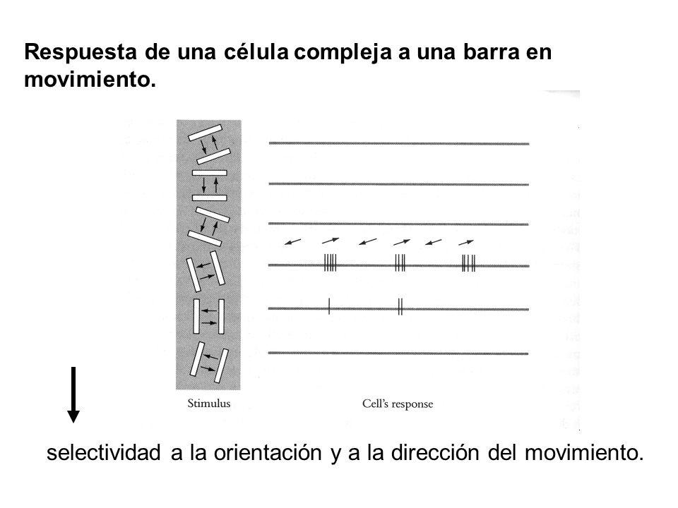 Respuesta de una célula compleja a una barra en movimiento. selectividad a la orientación y a la dirección del movimiento.