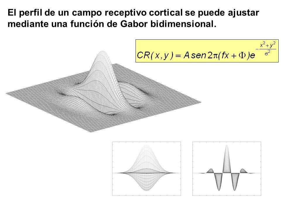El perfil de un campo receptivo cortical se puede ajustar mediante una función de Gabor bidimensional.