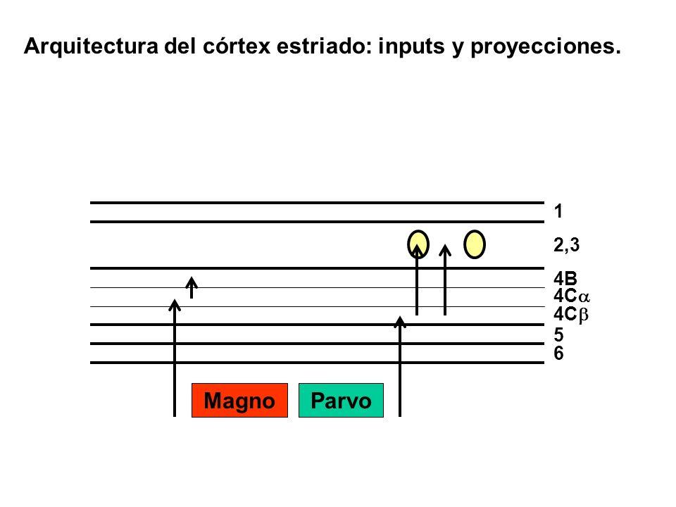 Arquitectura del córtex estriado: inputs y proyecciones. 1 2,3 4C 5 6 4B MagnoParvo