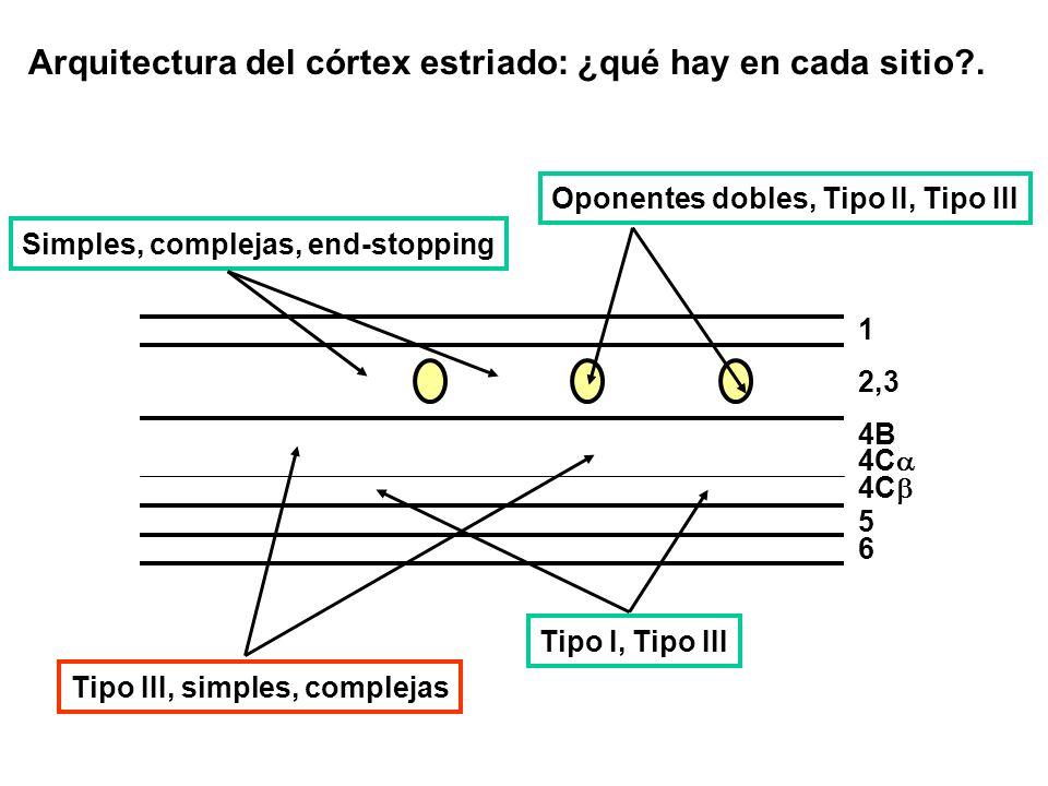 Arquitectura del córtex estriado: ¿qué hay en cada sitio?. Simples, complejas, end-stopping Tipo III, simples, complejas Tipo I, Tipo III 1 2,3 4C 5 6