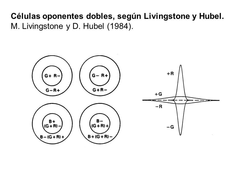 Células oponentes dobles, según Livingstone y Hubel. M. Livingstone y D. Hubel (1984).