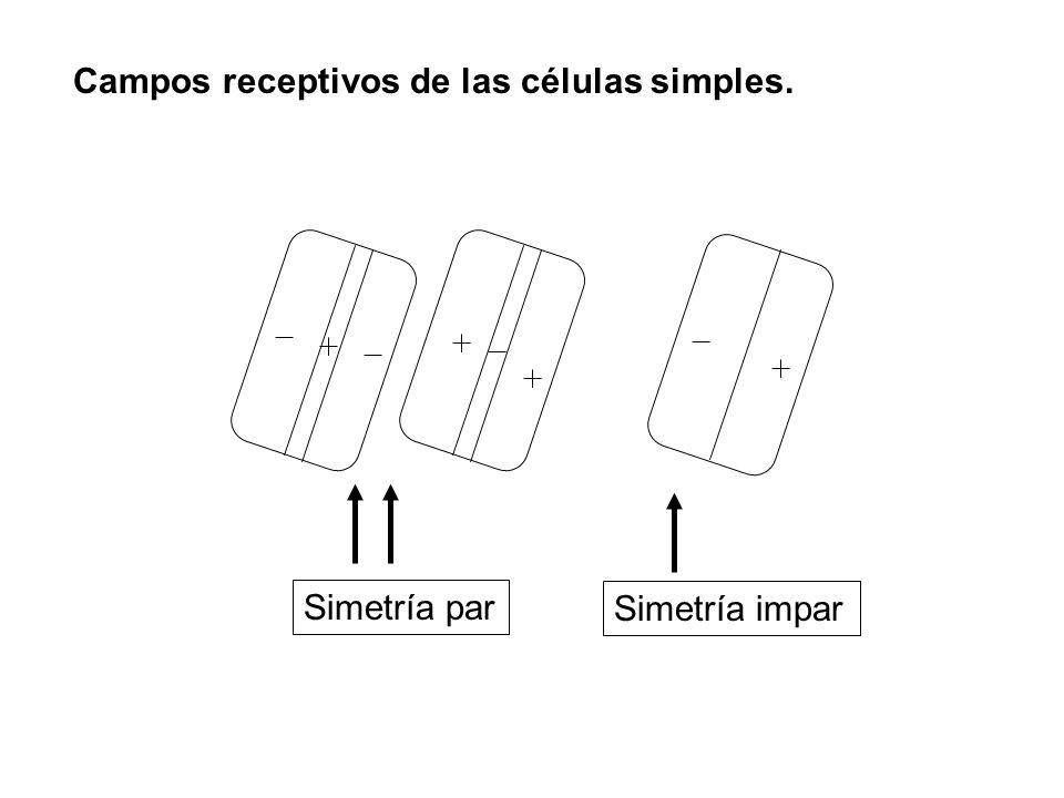 Campos receptivos de las células simples. Simetría par Simetría impar